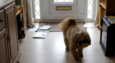 犬 郵便を散らかすシーズー06