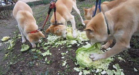 柴犬 野菜大好き05