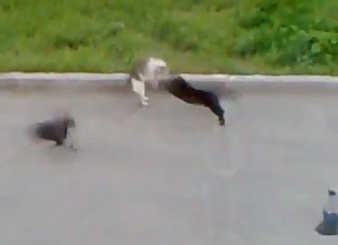 猫 vsカラス2匹と黒猫04