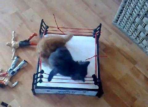 子猫 2匹でプロレス00