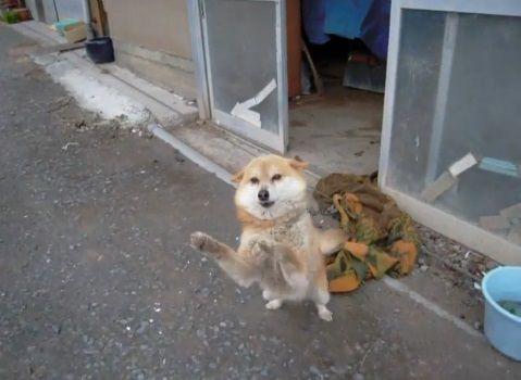 柴犬 営業先で熱烈歓迎03