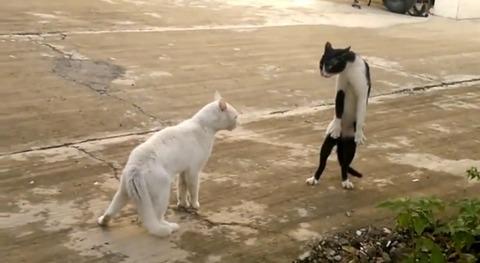 猫 喧嘩で直立04