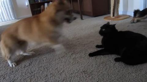 犬猫 ぶつぶつコーギー08