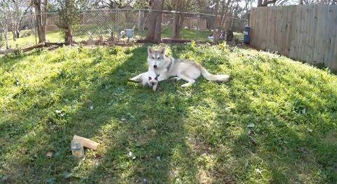 犬猫 狼犬と子猫00