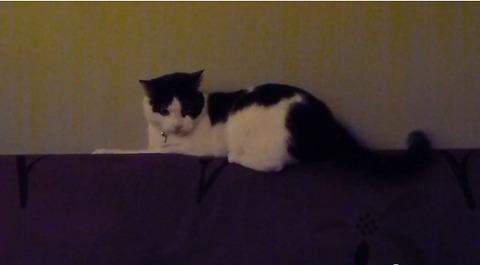 猫 ソファの上でしっぽを07