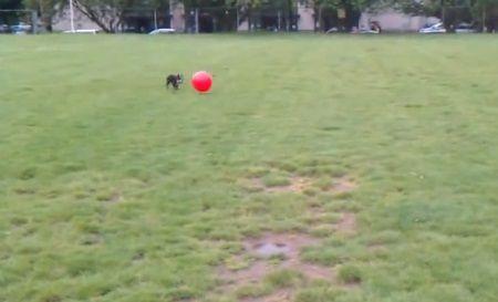 犬 大きなボールを追いかけて跳ね飛ばされる06