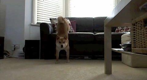 柴犬 エリーは多芸03