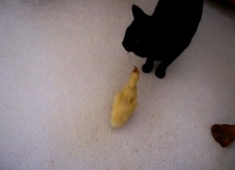 猫 アヒルの雛がついてくる03