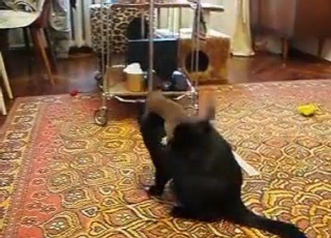 猫 vsオコジョ01