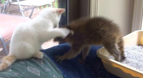 子猫 アライグマをぺしぺし05