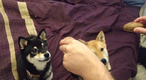 柴犬 2匹でおやつ待ち00
