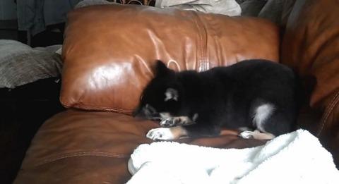 子犬 ソファの上で不満を述べる柴犬04