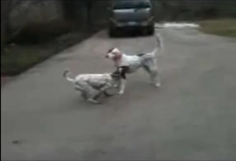 犬 なぜか倒れる08