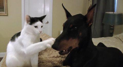 犬猫 ドーベルマンとじゃれる猫01