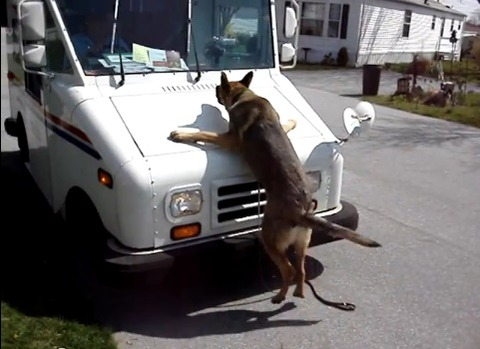 犬 ワイパーが気に入らないシェパード02