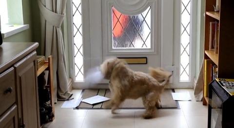 犬 郵便を散らかすシーズー04