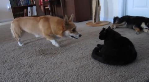 犬猫 ぶつぶつコーギー05