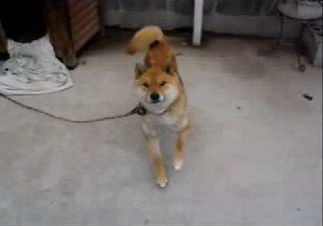 柴犬 DANCE00