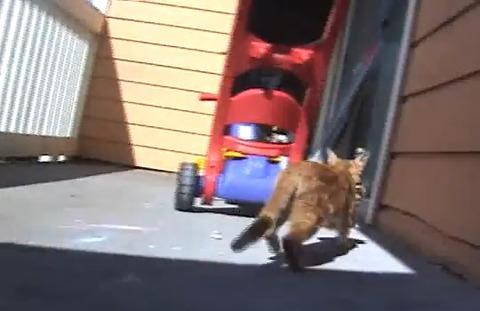 子猫 親猫が連れて行く06