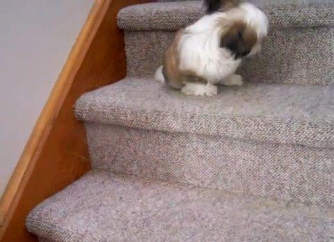子犬 シー・ズーが階段をちょっとずつ降りる05