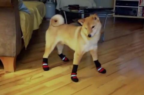 柴犬 靴下01