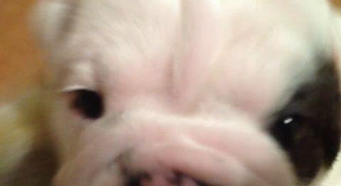 子犬 ブルドッグ_勇ましく?吠える02