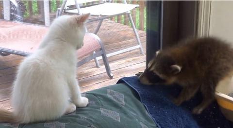 子猫 アライグマをぺしぺし07