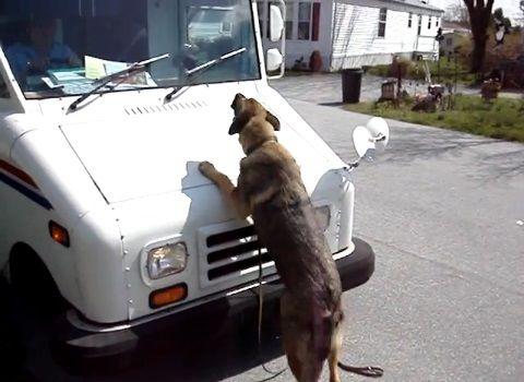犬 ワイパーが気に入らないシェパード01