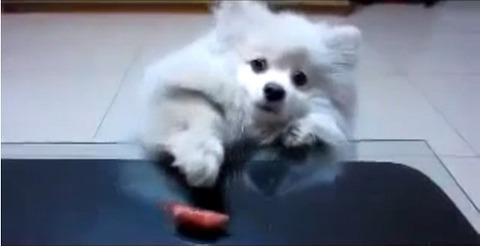 犬 白ポメ 届かない02