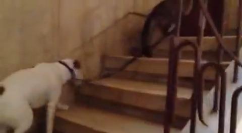 猫が犬をリードで07