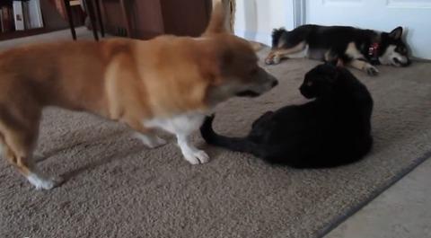 犬猫 ぶつぶつコーギー02