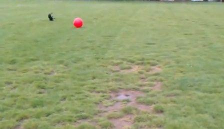 犬 大きなボールを追いかけて跳ね飛ばされる05