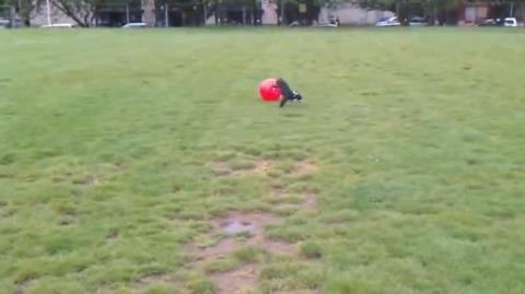 犬 大きなボールを追いかけて跳ね飛ばされる07
