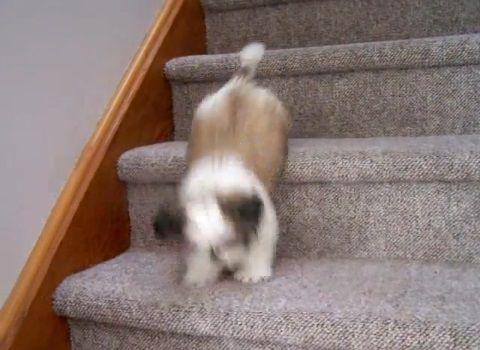 子犬 シー・ズーが階段をちょっとずつ降りる04