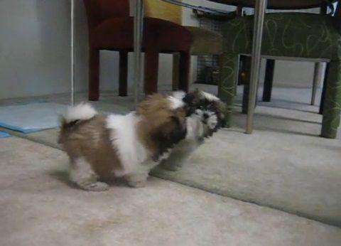 子犬 鏡の自分と喧嘩02