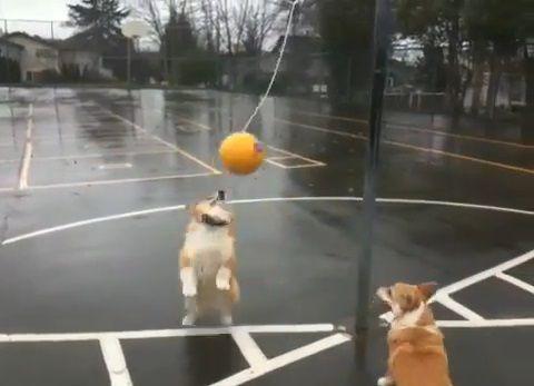 犬 つるしたボールで遊ぶコーギー01