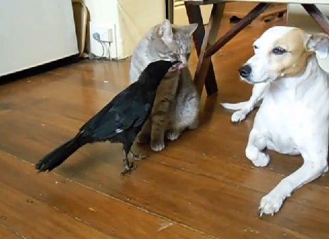 犬猫 カラスに餌をもらう04