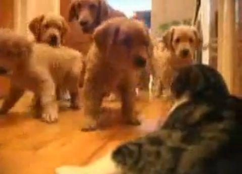 犬猫 複数子犬vs猫07