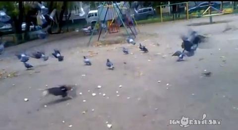 犬 鳩に突撃03