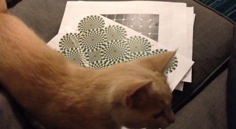 猫 錯視画像に反応04