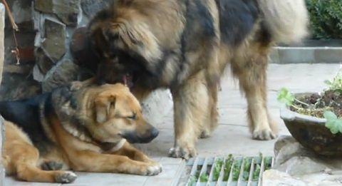 犬 コーカシアン・シェパード・ドッグ04