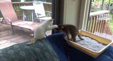 子猫 アライグマをぺしぺし02