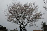 近所の桜3