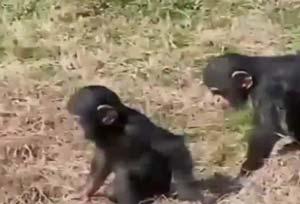 ヤーウェイ!チンパンジー