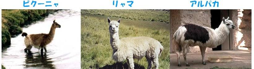 リャマの画像 p1_24