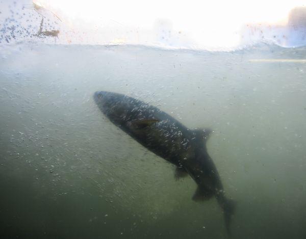 鮭の遡上 トリ
