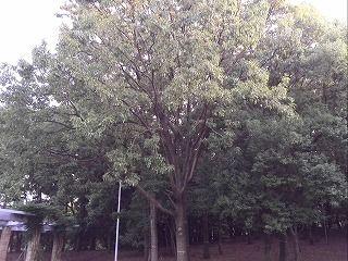 大泉緑地のクヌギの木