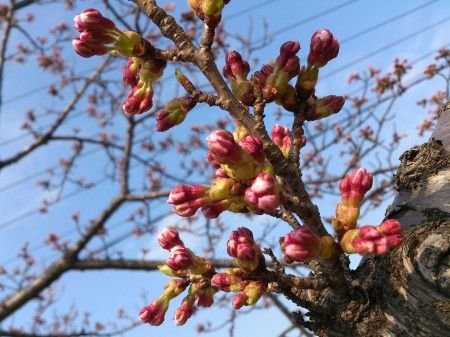男鹿半島にも、梅が咲き、桜が蕾む春が来ました