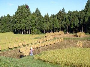 2012-09-13 早朝ライド ちと早めの稲刈り