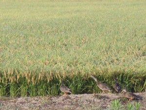 2012-09-14 早朝ライド 合鴨の分前